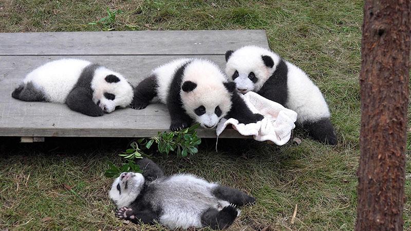 پانداهای چنگدو | بهترین جاذبه های گردشگری چین
