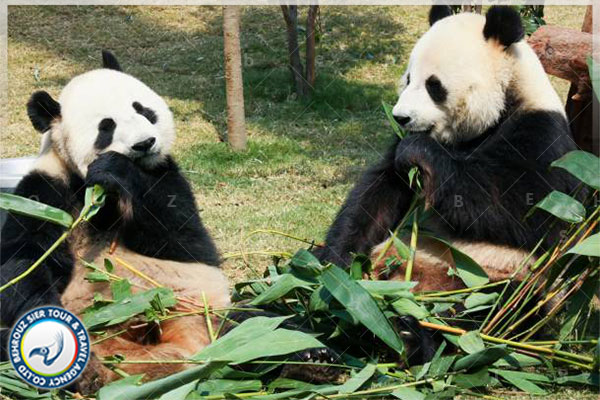 بهترین-مکان-برای-تماشای-پانداها-در-چین--بهروزسیر