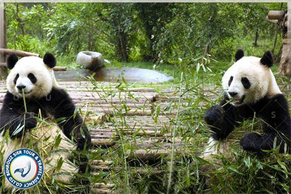 تغذیه-پانداها-در-چین-بهروزسیر