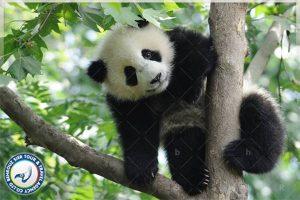 پانداها-در-چین-بهروزسیر