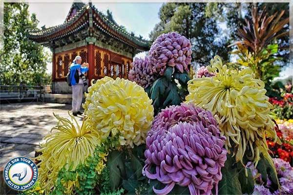 جشنواره-گل-های-داوودی-در-شهر-پکن-بهروزسیر